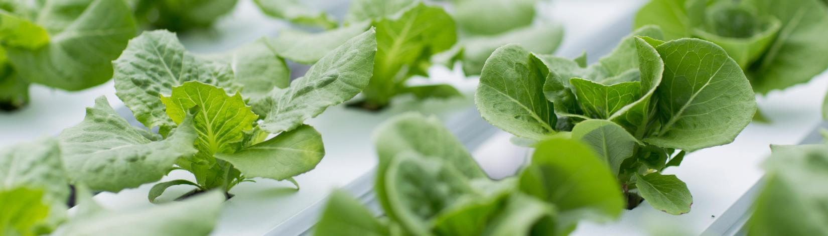 Hydroponic Solutions for Urban Food Production - UF/IFAS