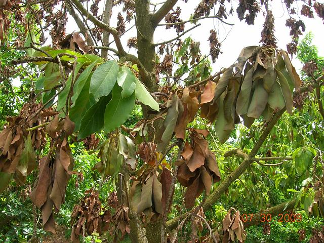 Laurel Wilt A Disease Impacting Avocados Uf Ifas Extension