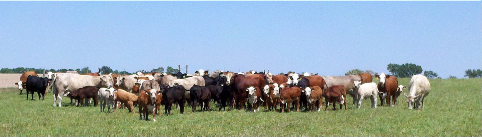 Beef Cattle at NFREC Marianna