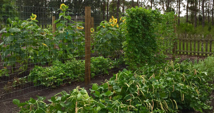 beans and sunflowers in veg garden