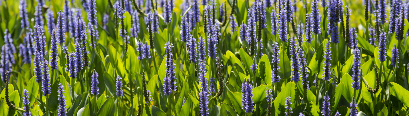 Photo of Pickerelweed, Pontederia chordata, in bloom