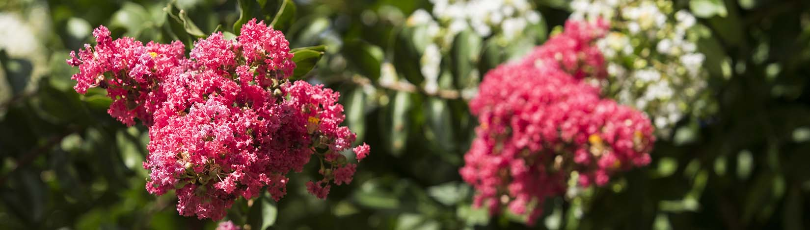 Crape myrtle pruning should typically be minimal