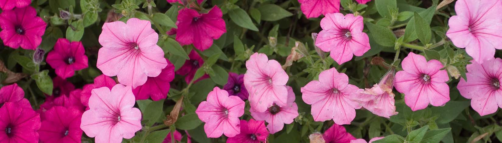 Petunias are an example of annual flowers in Florida