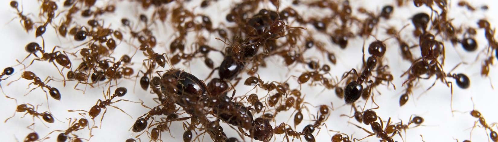 Sustainable Fire Ant Control Uf Ifas Extension