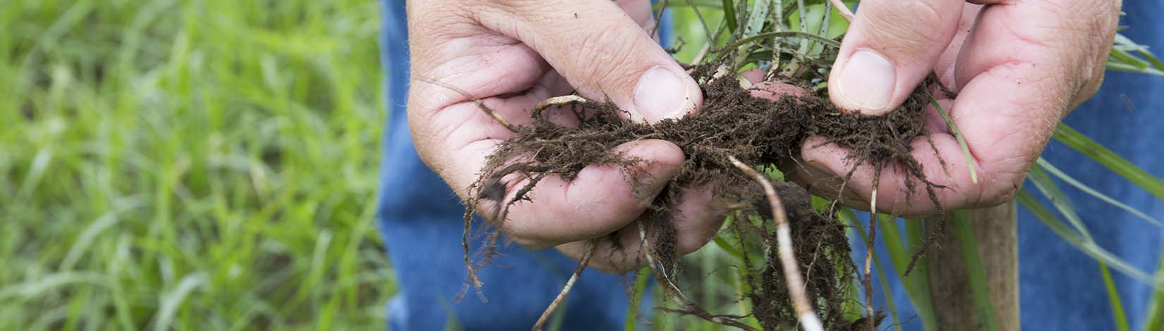 Hands holding plant roots while organic gardening