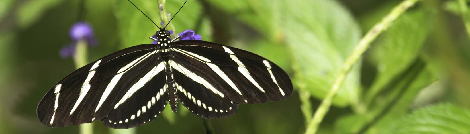 Zebra longwing butterfly on purple flower