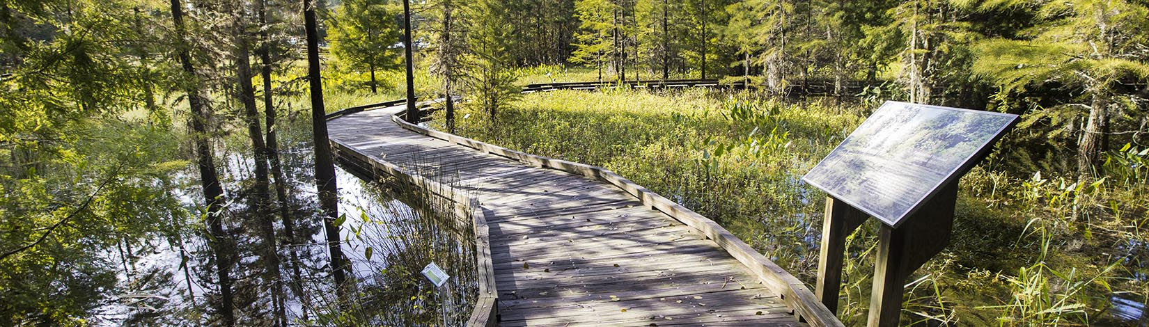wooden walkway through cypress swamp